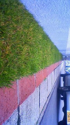 綺麗に芝生生えました